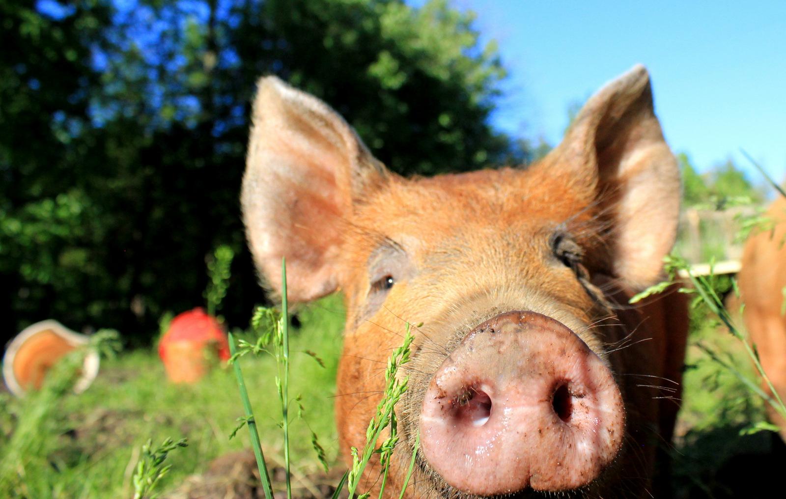 Peterborough Pig
