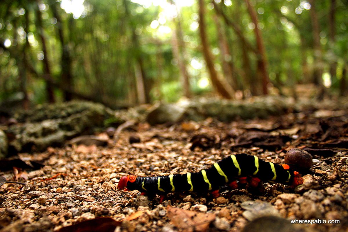 Yucatan Caterpillar